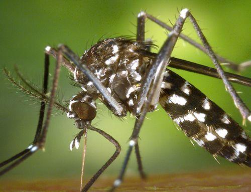 Prévention moustique tigre
